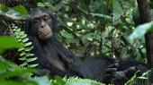 Шимпанзе / Chimpanzee (2012) Blu-ray + BD Remux + BDRip 1080p / 720p + HDRip + AVC